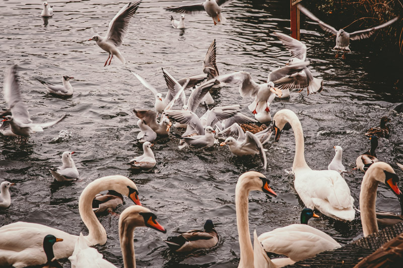 photograph of birds at moses gate country park